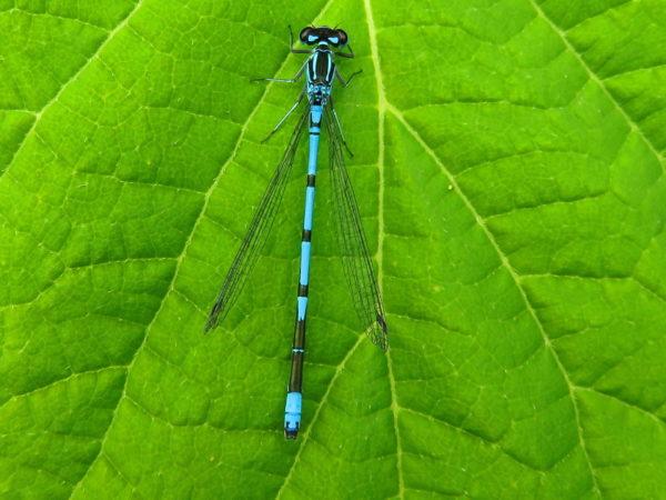 Azuurwaterjuffer (Coenagrion puella) mannetje