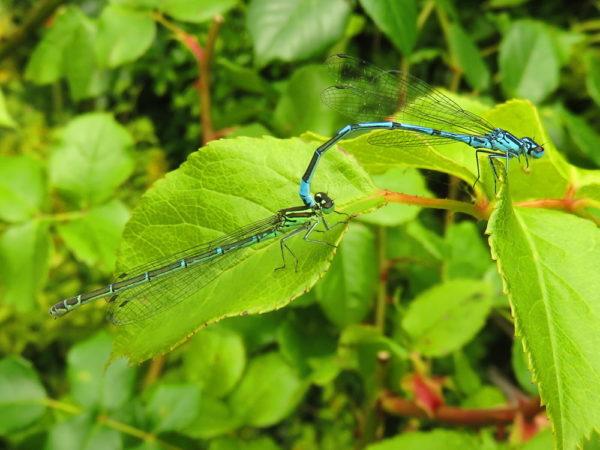 Azuurwaterjuffer (Coenagrion puella) mannetje en vrouwtje