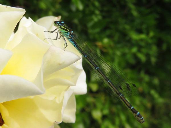 Azuurwaterjuffer (Coenagrion puella) vrouwtje