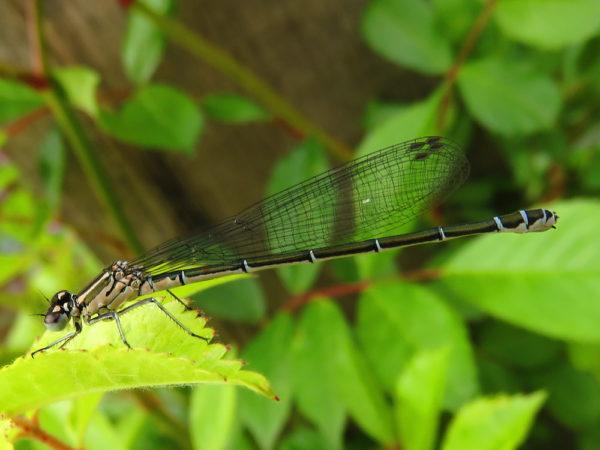 Azuurwaterjuffer (Coenagrion puella) vrouwtje niet uitgekleurd