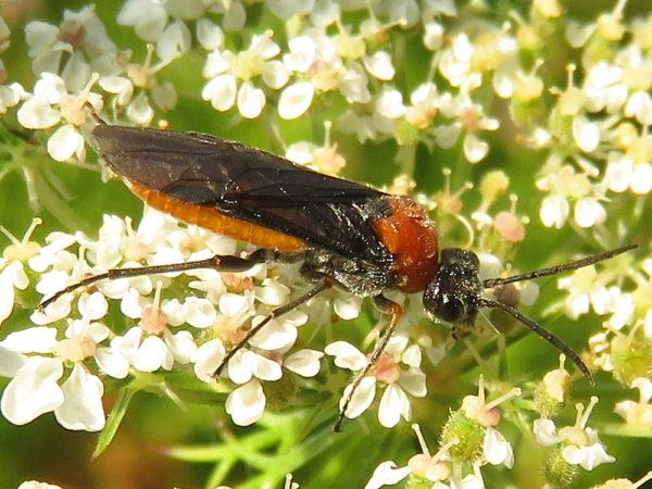Bladwesp Dolerus aericeps / Dolerus germanicus