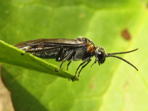 Dolerus haematodes vrouwtje