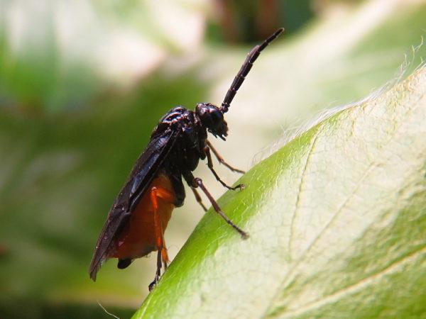 Eutomostethus luteiventris