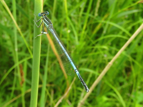 Blauwe breedscheenjuffer (Platycnemis pennipes) mannetje