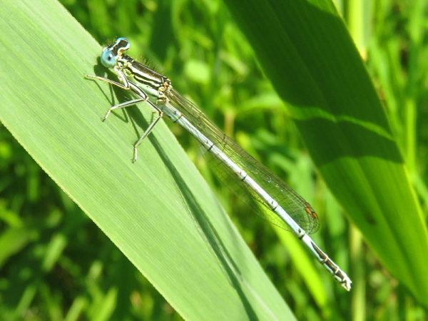 Blauwe breedscheenjuffer mannetje (Platycnemis pennipes)