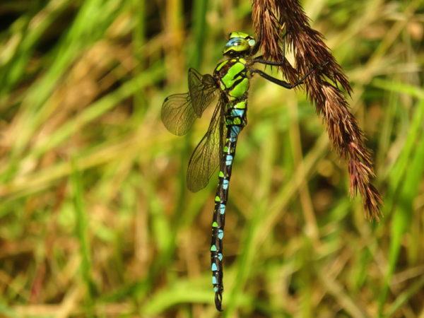 Blauwe glazenmaker (Aeshna cyanea) mannetje