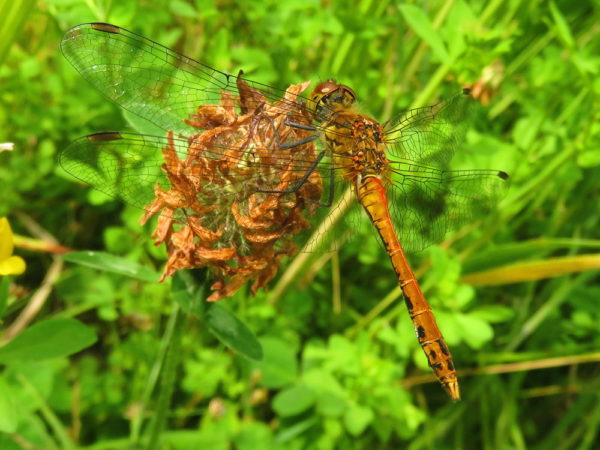 Bloedrode heidelibel (Sympetrum sanguineum) mannetje