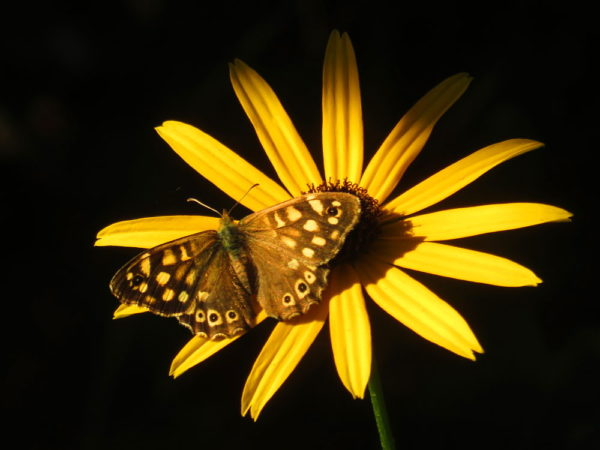 Bont zandoogje (Pararge aegeria) vrouwtje