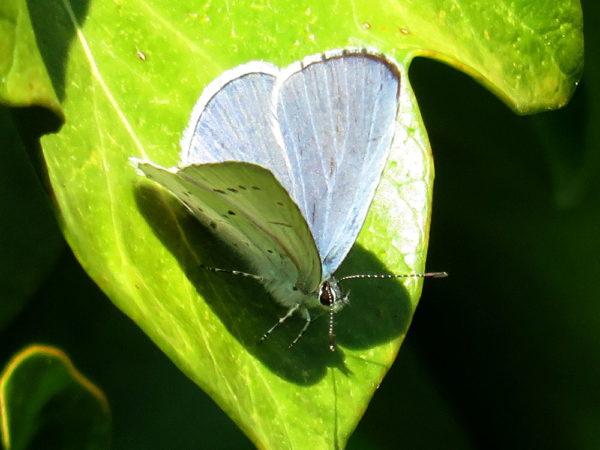 Boomblauwtje (Celastrina argiolus) mannetje