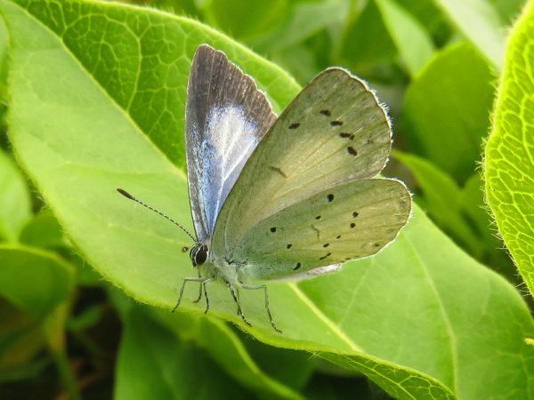 Boomblauwtje (Celastrina argiolus) vrouwtje