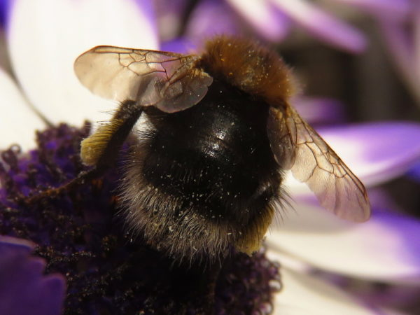 Boomhommel vrouwtje (Bombus hypnorum)