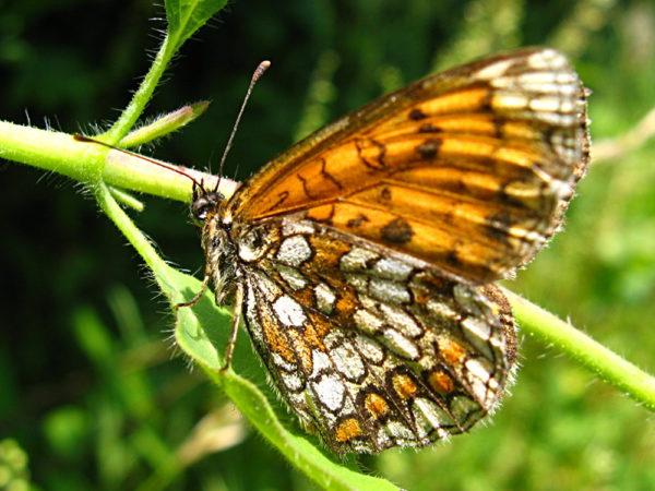 Bosparelmoervlinder (Melitaea athalia) onderkant vleugel