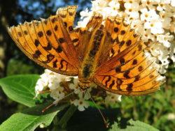 Bosrandparelmoervlinder (Argynnis adippe)