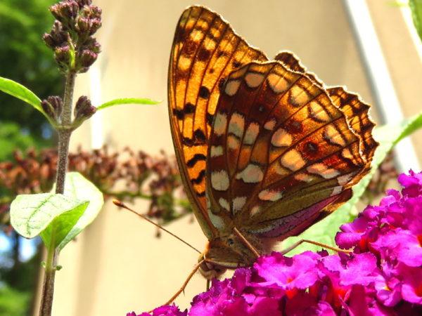 Bosrandparelmoervlinder (Argynnis adippe) onderkant vleugel