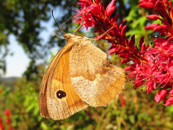 Bruin zandoogje vrouwtje (Maniola jurtina)