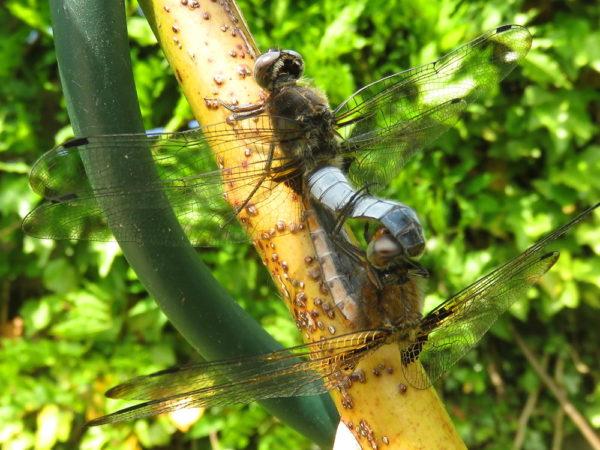 Bruine korenbout (Libellula fulva) mannetje en vrouwtje