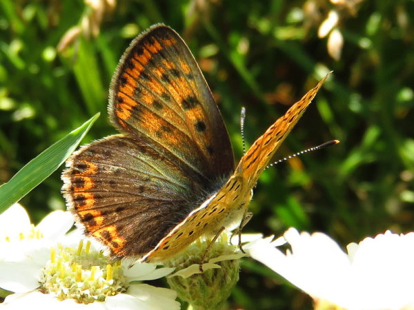 Bruine vuurvlinder (Lycaena tityrus) vrouwtje