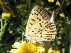 Bruine vuurvlinder (Lycaena tityrus) mannetje