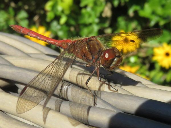 Bruinrode heidelibel mannetje