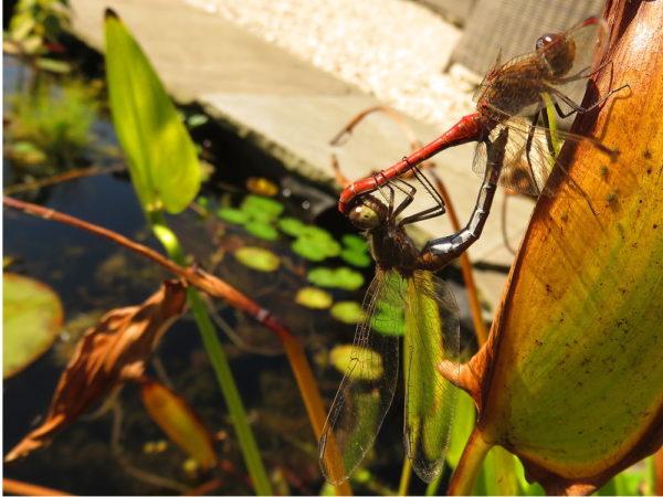 Bruinrode heidelibel mannetje en vrouwtje
