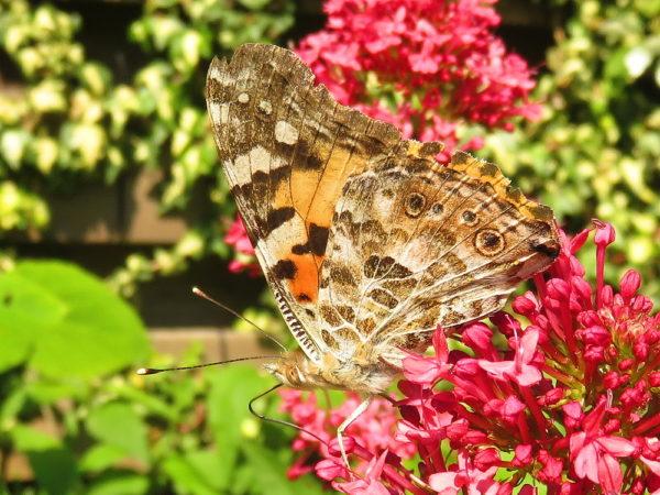 Distelvlinder (Vanessa cardui) onderkant vleugel