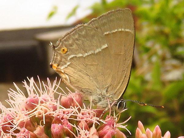 Eikenpage (Favonius quercus)
