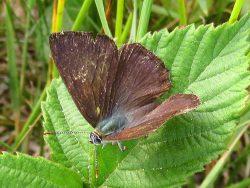 Eikenpage (Favonius quercus) vrouwtje