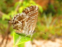 Geraniumblauwtje (Cacyreus marshalli)