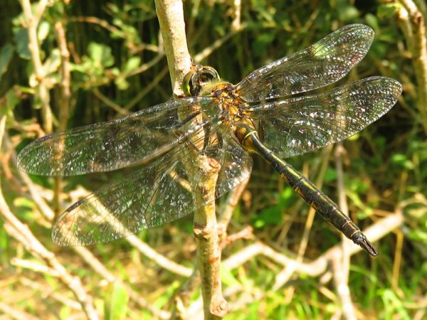 Gevlekte glanslibel (Somatochlora flavomaculata) mannetje