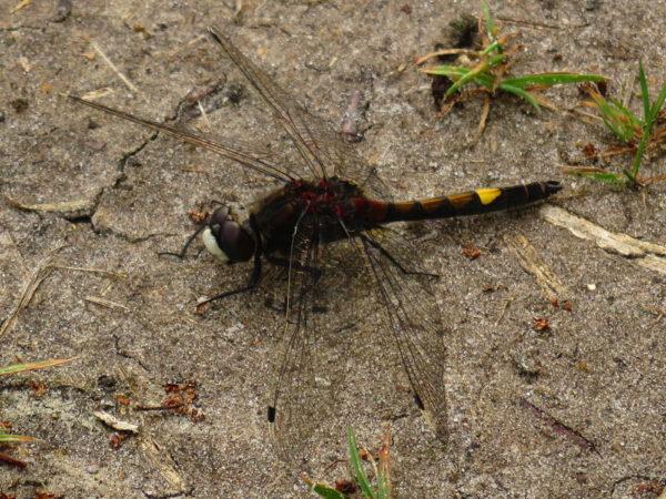 Gevlekte witsnuitlibel (Leucorrhinia pectoralis) mannetje
