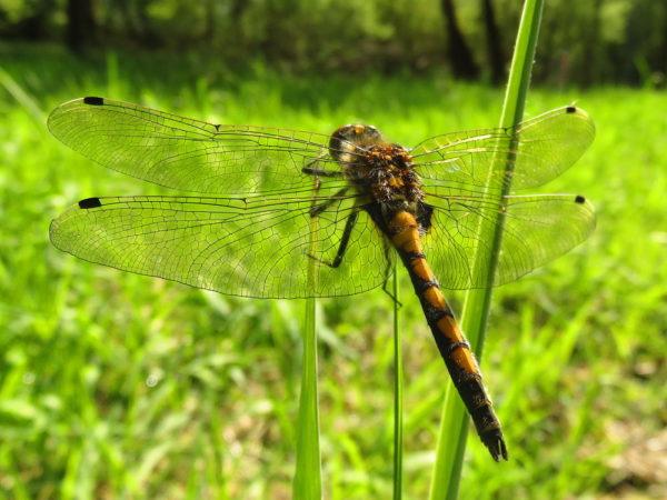 Gevlekte witsnuitlibel (Leucorrhinia pectoralis) jong mannetje