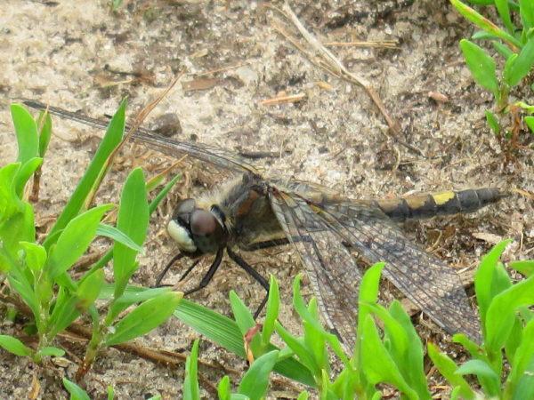 Gevlekte witsnuitlibel (Leucorrhinia pectoralis) vrouwtje