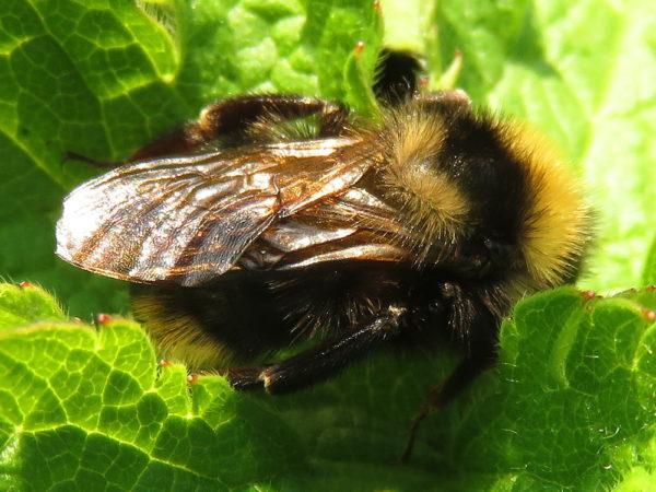 Gewone Koekoekshommel mannetje (Bombus campestris)