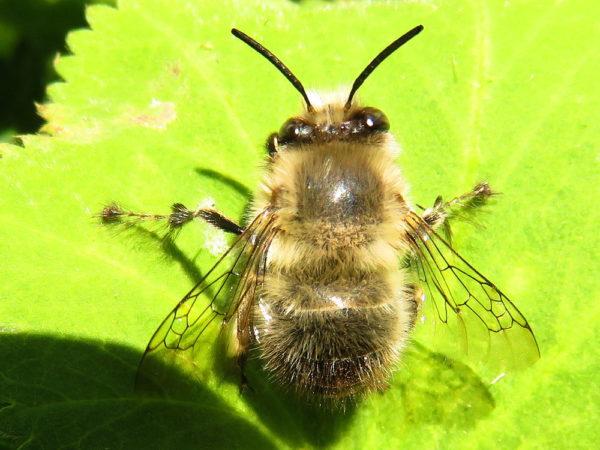 Gewone sachembij (Anthophora plumipes) mannetje