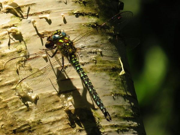 Glassnijder (Brachytron pratense) mannetje