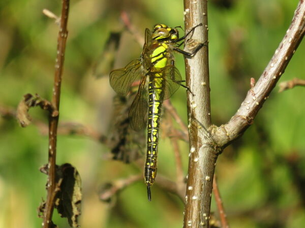 Glassnijder (Brachytron pratense) vrouwtje
