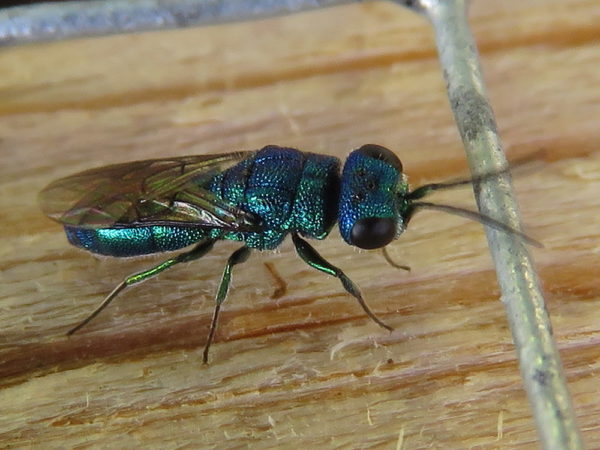 Goudwesp Trichrysis cyanea