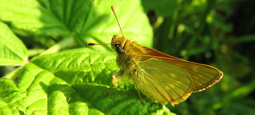 Eerste zomervlinders: het Groot dikkopje