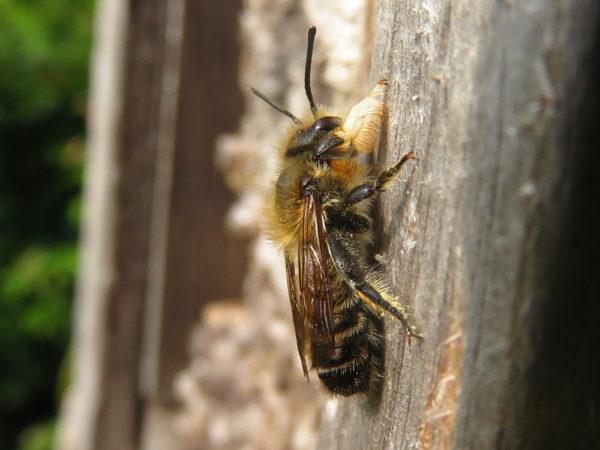 Grote bladsnijder (Megachile willughbiella) mannetje