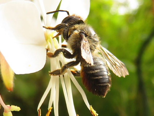 Grote bladsnijder (Megachile willughbiella) vrouwtje