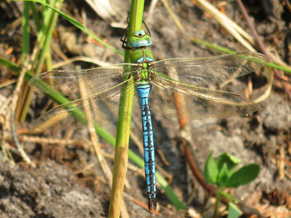 Grote keizerlibel (Anax imperator) mannetje
