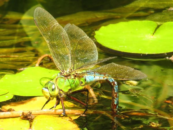 Grote keizerlibel (Anax imperator) vrouwtje