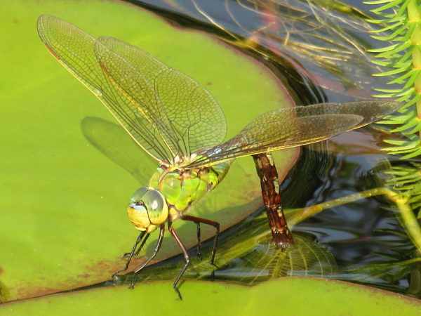 Grote keizerlibel (Anax imperator) vrouwtje legt eitjes