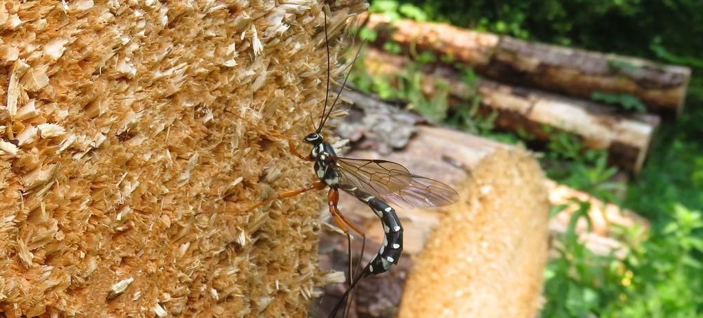 Joekel van een wesp: de Houtsluipwesp