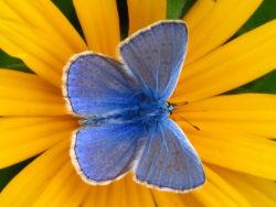 Icarusblauwtje (Polyommatus icarus) mannetje