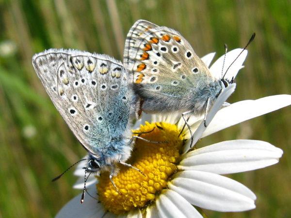 Icarusblauwtje (Polyommatus icarus) mannetje en vrouwtje