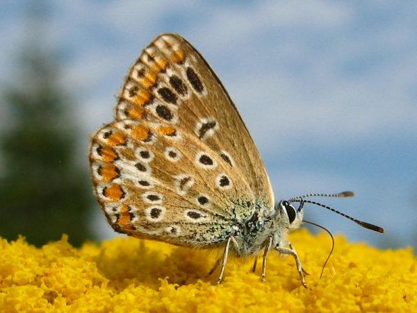 Icarusblauwtje (Polyommatus icarus) vrouwtje