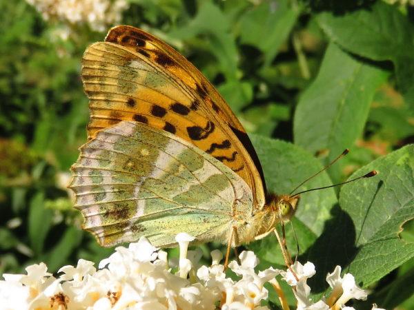 Keizersmantel (Argynnis paphia) onderkant vleugel