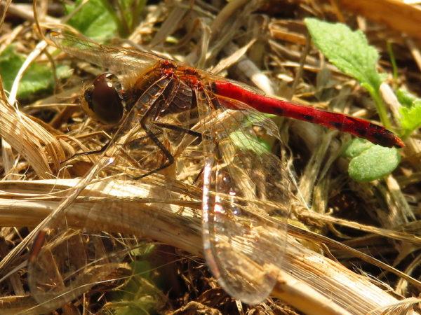 Kempense heidelibel (Sympetrum depressiusculum) mannetje