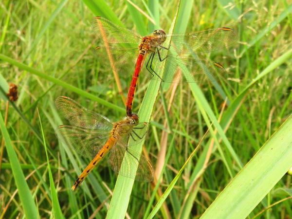 Kempense heidelibel (Sympetrum depressiusculum) mannetje en vrouwtje
